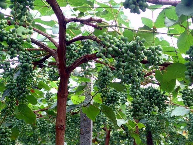 广西适合种什么葡萄